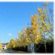 秋深し 木々は…(^^♪安満遺跡公園の黄葉した葉が散り始めた「銀杏並木」