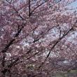 岡崎の河津桜満開