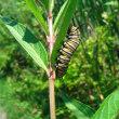 オオカバマダラ幼虫 / Pupo de Monarko-papilio