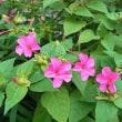 季節の花「白粉花 (おしろいばな)」
