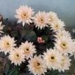 サボテンの花と可憐な朝顔が咲きました。