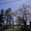 満開!北広島町宮地、地久院のシダレザクラ 2018.04.18