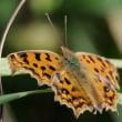 久しぶりの蝶の画像