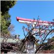 河津桜が咲き始めました♪