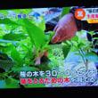 5/23 桜の葉 輸出まで  塩漬けの桜の葉