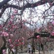 いなべ梅林公園の梅まつりに行ってきました。