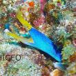 ヒョットコオコゼの幼魚!? 2017年11月24日