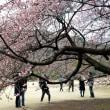 新宿御苑の寒桜・・2