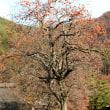 伊那方面の柿や銀杏の古木
