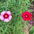 二色咲きのナデシコ?