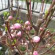 Prunus persica ❛Mai Hiten❜