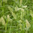 空地(草刈から9週間)猫じゃらしの穂が白い