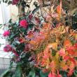 今、庭の紅葉真っ盛り!