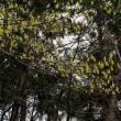 トサミズキ属三つ巴~京都府立植物園2019年3月(2)