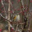 冬鳥 ルリビタキメス1