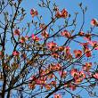 春の花の季節 part8  ハナミズキ ①