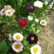 「おはようの花」 アスター 6月