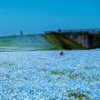 2018 ネモフィラの青い空  《福岡市東区海の中道海浜公園》