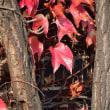 ツタの葉の赤