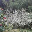 梅の花が満開