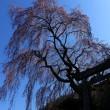 岐阜県高山市朝日町の「枝垂れ桜」な季節