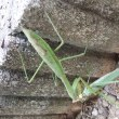 Praying Mantis(余談)☆
