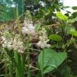 豪州からの帰化植物、ゴウシュウアリタソウです