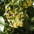 銀木犀の花と越後のニラの花にヒョウモン蝶