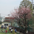 あんずの木