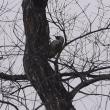 緑啄木鳥(アオゲラ)が来るのは珍しい