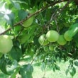 梅林公園 梅のもぎ採り体験募集中