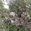 いつもの公園の桜開花