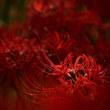 紅色・曼珠沙華