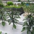 ナスとミニトマトと落花生の発芽