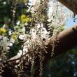 由布院温泉 興禅院さんの白い藤の花