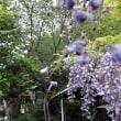 時宗「別願寺」の藤を見る