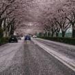 散り始めの桜・・・