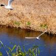 『花水の野鳥』 ユリカモメ