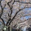 琵琶湖疎水の桜。