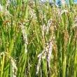 10月13日(土)のつぶやき 脇山主基斎田90周年記念事業。実りの秋。6月の「田植え祭り」で植えた米を今日刈り取り
