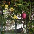 藤棚のムベの花
