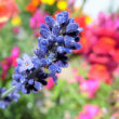 ゆく夏を惜しむ☆ラベンダー咲きました