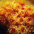 サンゴのなかま