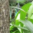 蝉の抜け殻~蝉が沢山鳴き始めました