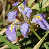 季節の花「カンザキアヤメ」
