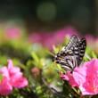 ●兼六園 カキツバタが見頃に サツキにアゲハチョウ 曲水と七福神山など