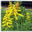 秋の長雨に洗われ…(^^♪別名はアキノキリンソウ 背の高い鮮やかな黄色の「セイタカアワダチソウ(背高泡立草)」
