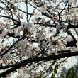 庭の桜 満開です