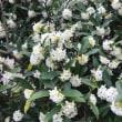 3月の庭(沈丁花など)