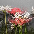 紅白の彼岸花と庭の花センナ